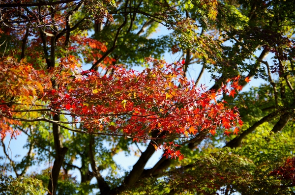 autumn leaves takao-san JT23