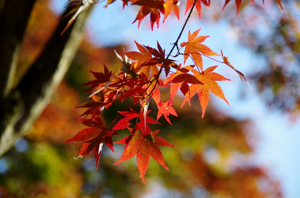 autumn leaves takao-san JT24