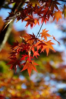 autumn leaves takao-san JT26