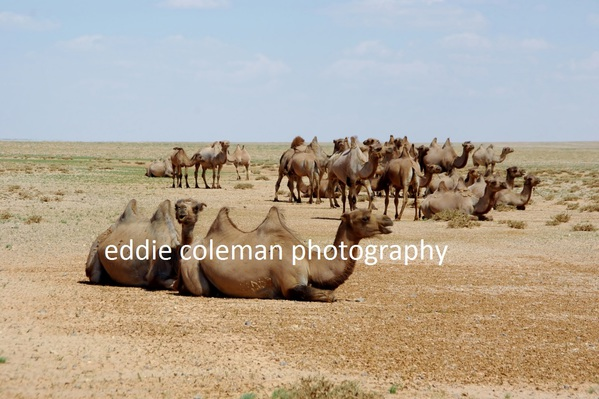 first camel sighting along the way - MTGD2 7