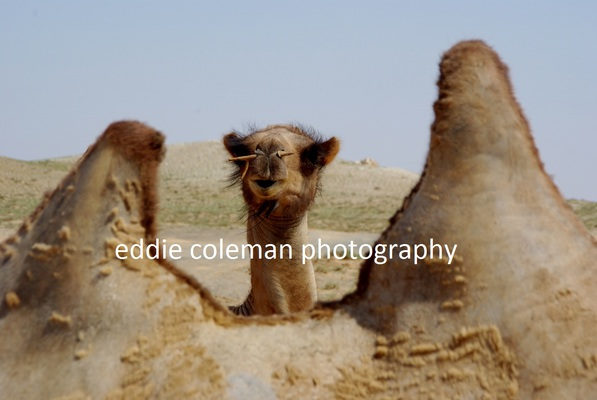 baby camel feeling safe next to its mother - MTGD3 9